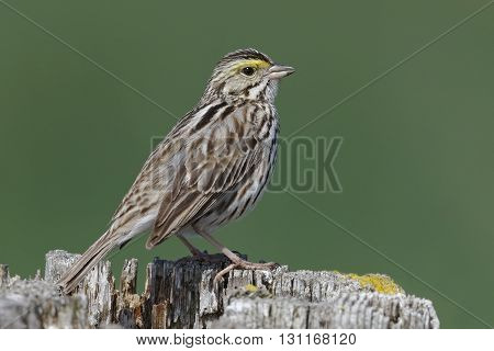 Savannah Sparrow (Passerculus sandwichensis) perched on a fence post - Ontario Canada poster