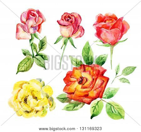 Watercolor rose. Set of roses isolated on white background. Watercolor rose flowers set for floral design. Hand painted illustration