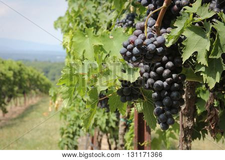 Concord grapes in vineyard with mountains in background