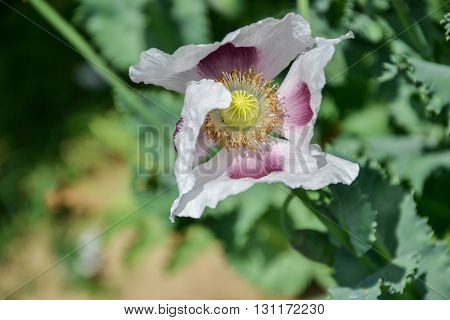 Close up of blossoming poppies flowers. Flowering Poppy-heads field poster