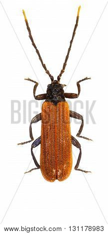Net-winged Beetle on white Background  -  Platycis minutus (Fabricius, 1787)