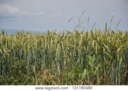 Green Wheat (triticum) Field On Blue Sky In Summer. Close Up Of Unripe Wheat Ears. Slovakia