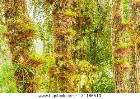 Rain Forest Trees In Panama Near Boquete.