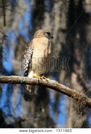 (wild hawk) thank you very much for looking poster