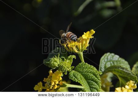 Bee on top of a yellow flower with wings up