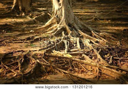Root system above ground of very large bay tree.