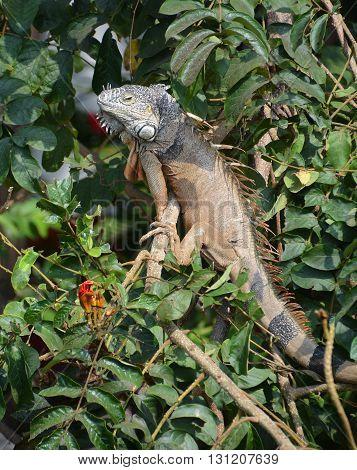 Large iguana in a tree Puerto Vallarta Mexico