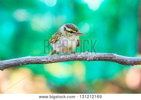 Yellow-browed Warbler (Phylloscopus inornatus) on the branch in nature poster