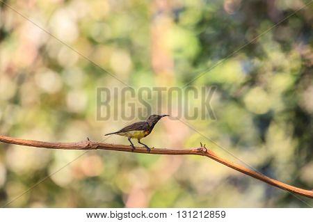 Olive-backed sunbird Yellow-bellied sunbird on a tree