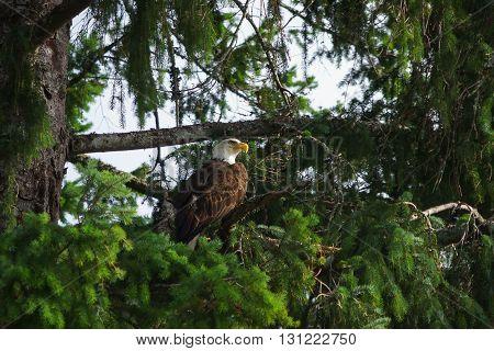 Bald Eagle in Tree, hunter, nature, plumage