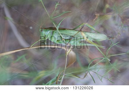 The female green grasshopper in the forest.