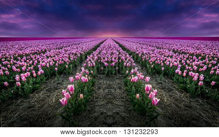 A field filled with harvest ready Tulips