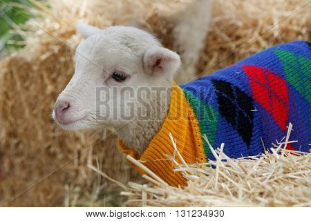 A lamb stays wrapped and warm on the cold spring days