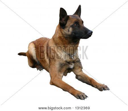 Detoured Belgian Dog