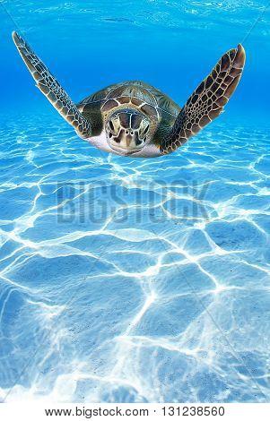 Tropical Sea turtle (Eretmochelys imbricata) swimming in the depth