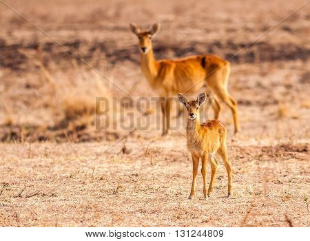 Baby antelope with its mother in the background