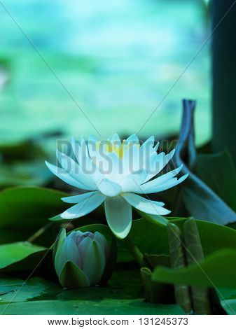 Lotus flower blooming on a tranquil pond in blue morning light. White lotus flower and pink lotus flower bud underneath. Shallow depth of field for dreamy feel.