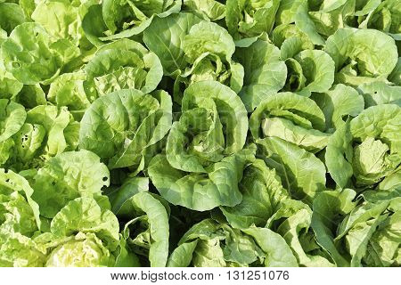 Growth of Cos Lettuce Romaine Lettuce in field.