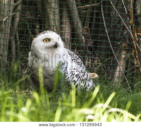White owl sitting on the ground in the grass