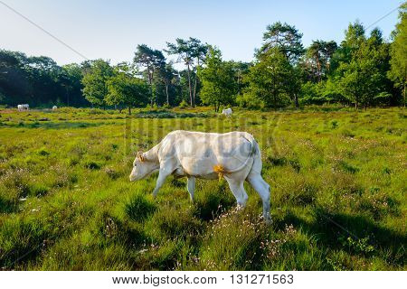 White cows grazing and wagging its tail in a nature area with moorland and woods in low sunlight early in the morning.