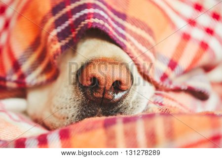 Snout of the sleepy dog (yellow labrador retriever) under the blanket on the bed.