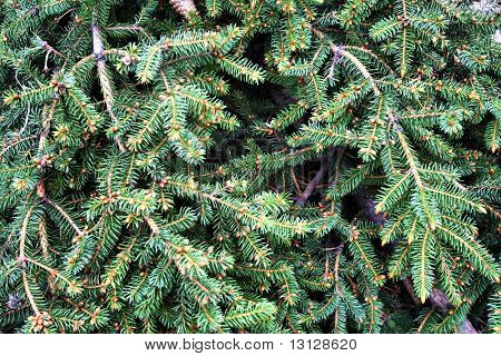 green background: branches of fir