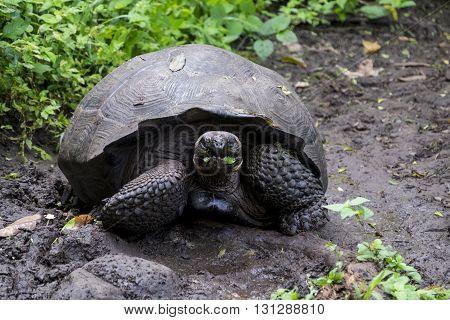 Large Galapagos Giant Tortoise eating green leaves