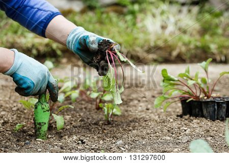 Gardener planting plowing the beetroot seedlings in freshly ploughed garden beds. Organic gardening healthy food nutrition and diet self-supply and housework concept.