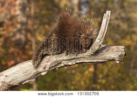 Porcupine (Erethizon dorsatum) Snoozes on Branch - captive animal
