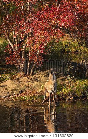 Howling Coyote (Canis latrans) by Water - captive animal