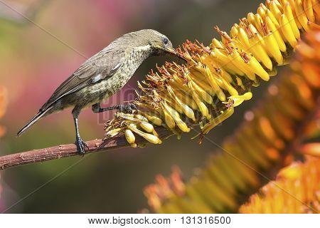 Green female sunbird sitting on a yellow aloe to get nectar