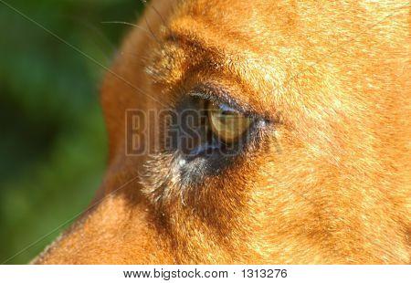 an alert beautiful eye of a rhodesian ridgeback hound dog watching other dogs poster