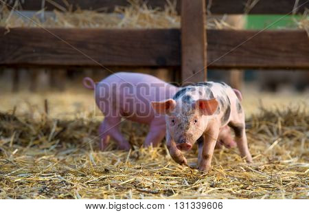 cute little piglets at farm in spring time