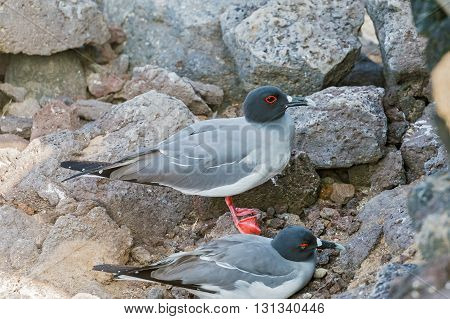 Swallow Tailed Gull From  Galapagos