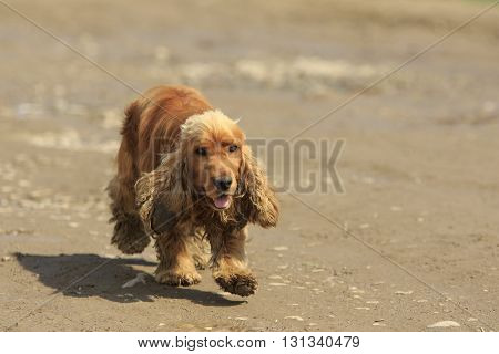Single ginger spaniel runs on the ground with pieces of dirt in his ear and wool