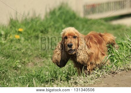Red spaniel stands in green grass lifting his paw and pees