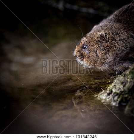 Close up of wild Water vole sitting on waters edge with reflection