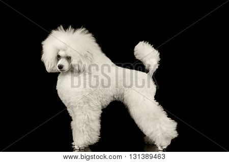 White Groomed Poodle Dog Standing and Waving Tail Isolated on Black Background