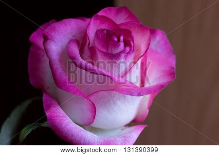 Pink Rose Flower On The Light Background