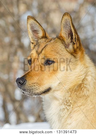 Ginger Little Dog Looking Fixedly Ahead at Winter Day
