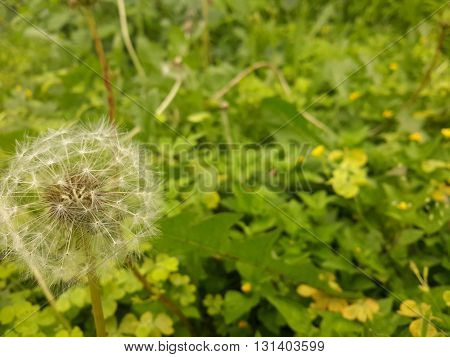 Park live in haystacks lightweight dandelion