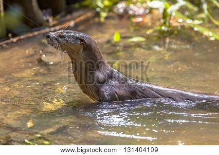 European Otter Looking Up From Water