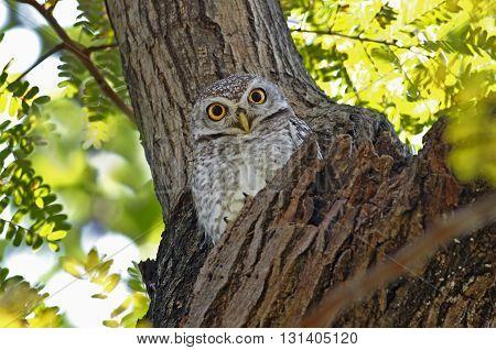 Spotted owlet Athene brama Birds of Thailand