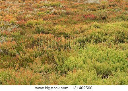 The area full of colorful Suaeda (Austral Seablite) , Common Glasswort, Salt meadow, Salt tolerant plants growing in salt marsh in Victoria, Australia