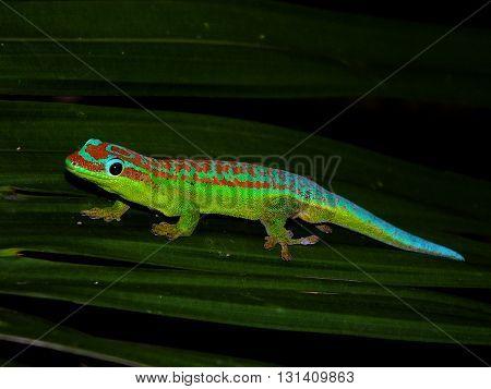 Day gecko resting in natural habitat on leaf
