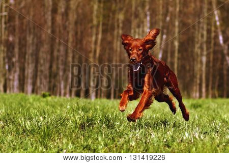 Beautiful dog Irish setter summer quickly runs gallop on the grass