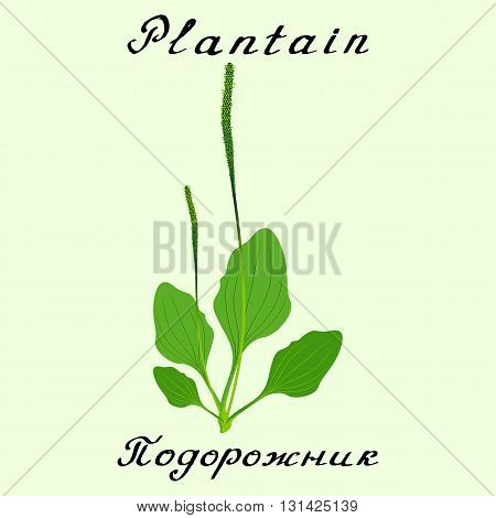 Plantain. Vector drawing and hand-lettering. English and Russian texts. Natural cosmetic. Medicinal plant. Print - decoration - image - design - label - wrapping poster