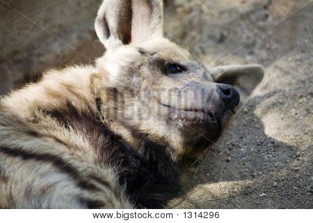 Playful Dingo Puppy