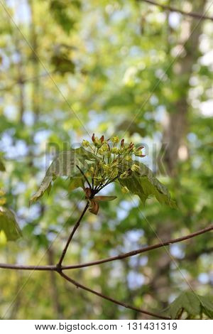 Fresh maple leaves and flowers. Acer is a genus of trees or shrubs commonly known as maple.