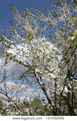 Blooming cherry tree. A cherry is the fruit of many plants of the genus Prunus, and is a fleshy drupe (stone fruit). Most eating cherries are derived from either Prunus avium, the sweet cherry (also called the wild cherry)